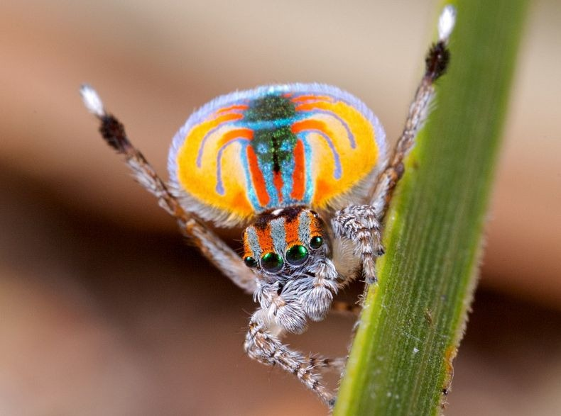 Rainbow afro circus time! Maratus volans photo by Dr. Jurgen Otto