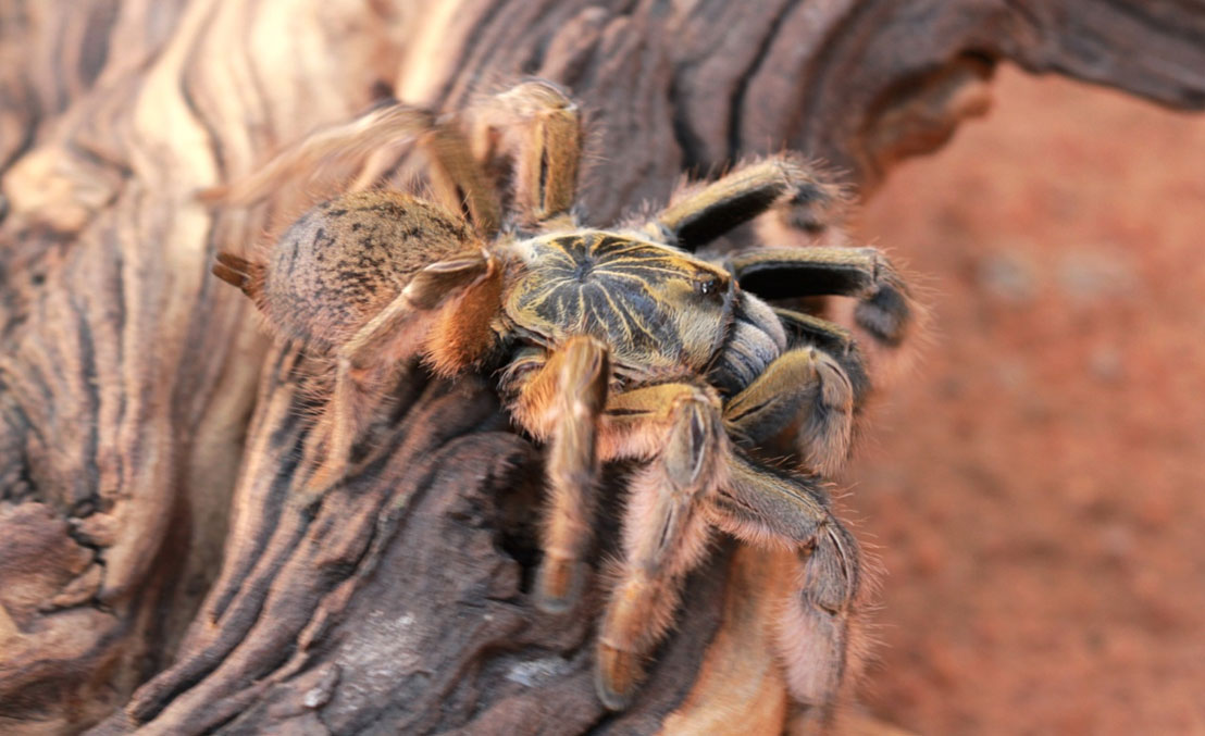 Helloooo, Blondie. Augacephalus junodi, the golden baboon spider, had to pick up stakes when the road came through.