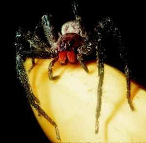 It's the mustache! Really. Those red jaws belong to Cupiennius chiapanensis (photo from American Entomologist), who gets confused with Phoneutria, another red-'stached spider with a bad reputation. But all they have in common is that banana.