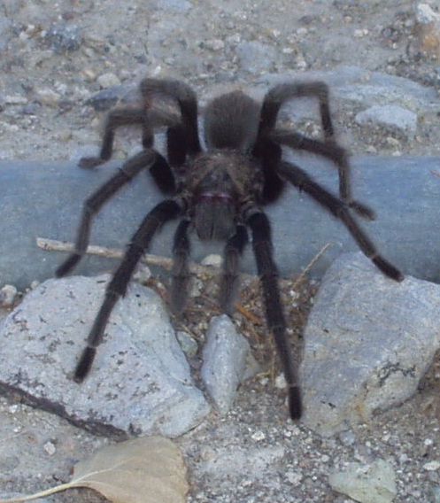 First name, Aphonopelma. Last name . . . not sure of species. But you can call me Mr. T. (Photo by Toiyabe--Creative Commons)