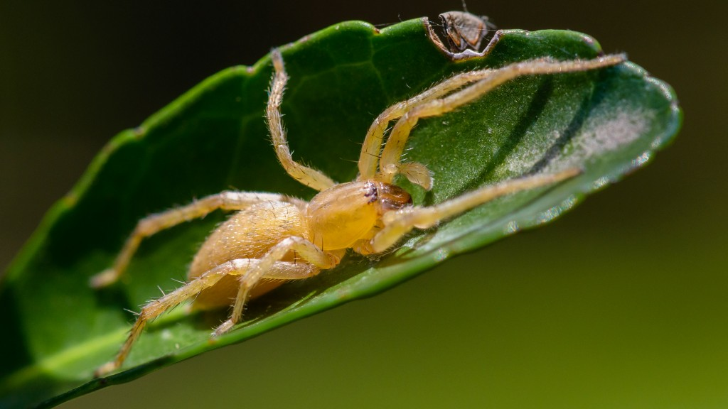 Long-legged Sac Spider - Cheiracanthium inclusum ♂